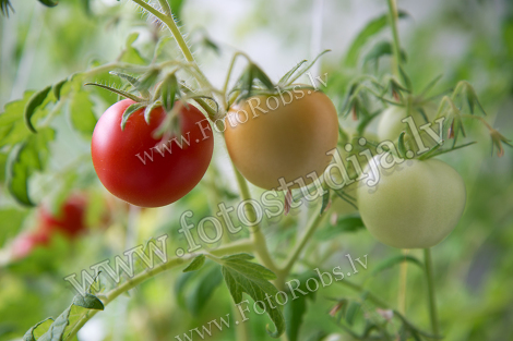 Rooms tomatoes
