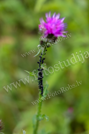 Blooming thistle with insets