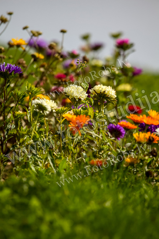 Asters and calendula in garden