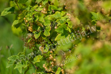 White currants on bush