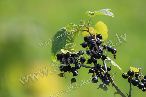 Blackcurrant on bush