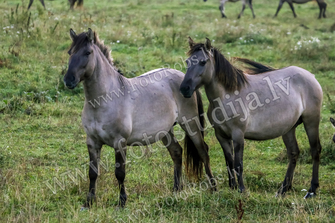 Horses graze in meadow