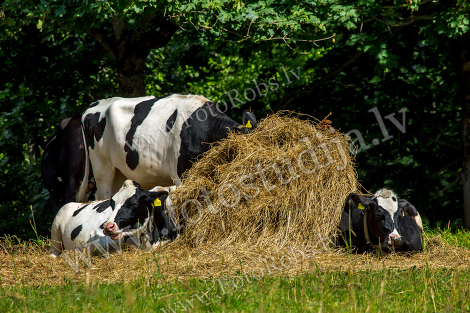 Cows in stack of hay