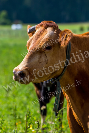 Portrait of cow;