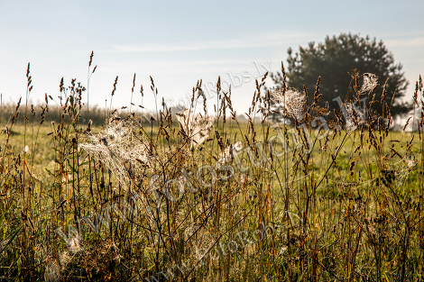 Spider nets in the meadow;
