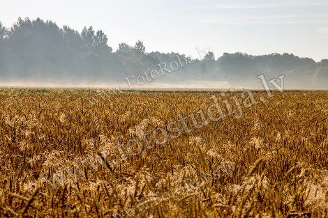 Fog on the cereal field;