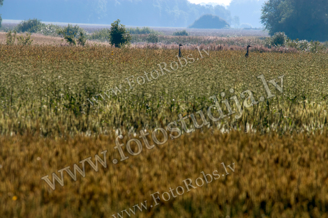 Bird crane in cereal field;
