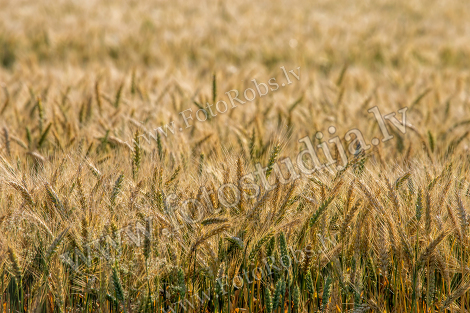Cereal field