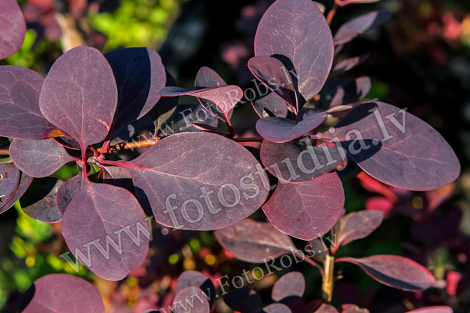 Plant with dark red leaves