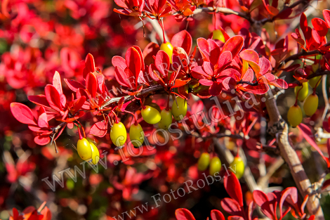 Yellov berries red bush